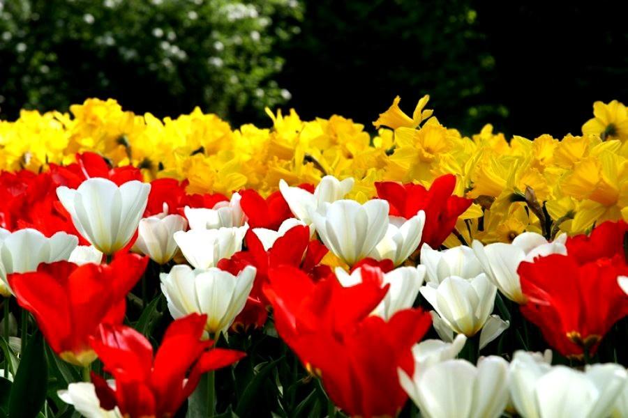 Tulipani al Parco Giardino Sigurtà