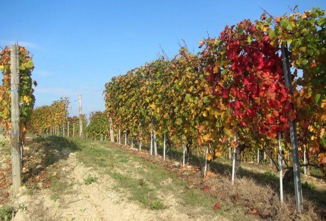 rosseggiano le vigne nelle langhe a la morra