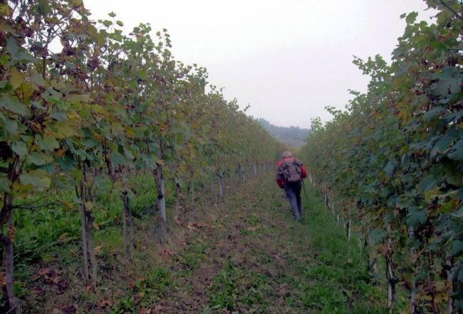 tra le vigne a La Morra nelle Langhe