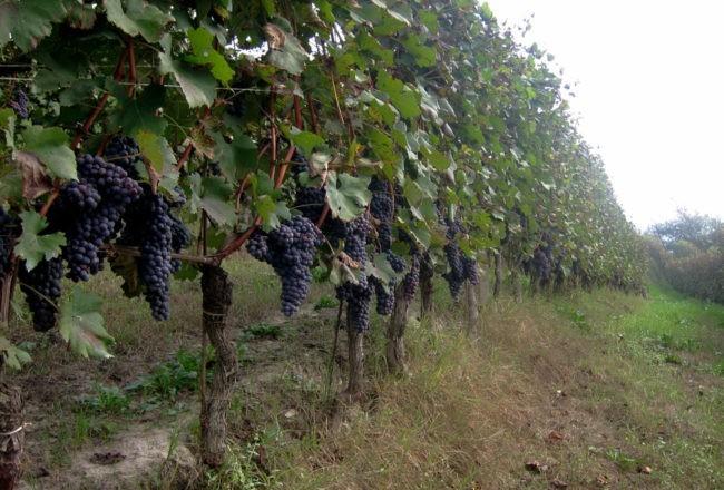 grappoli sulle viti nelle langhe
