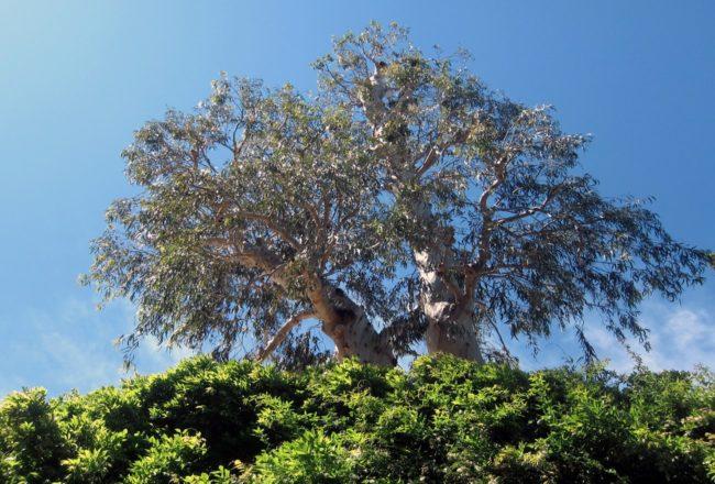L'eucalipto ultracentenario