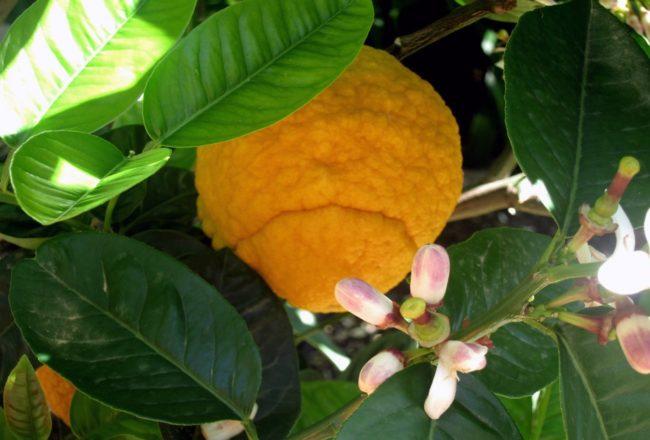 Il chinotto di Savona, una varietà rara