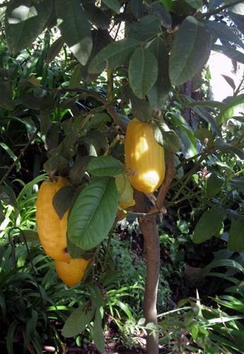 frutti di cedro