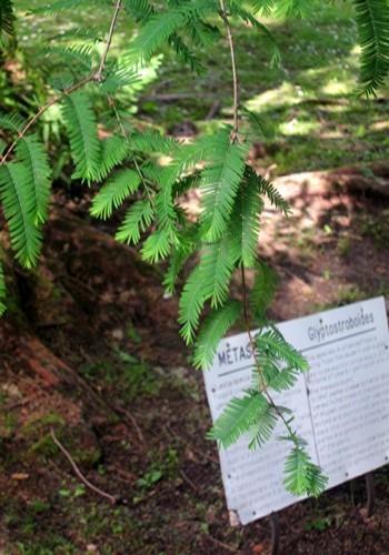 Metasequoia ritenuta estinta a Villa Taranto sul Lago Maggiore