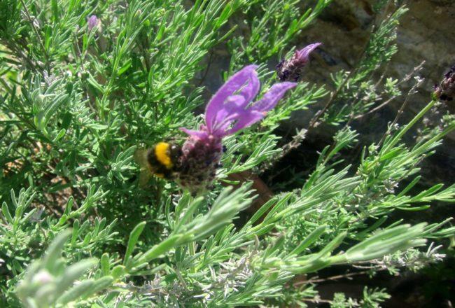 Un'ape al lavoro al Laghello di Amina  a Framura